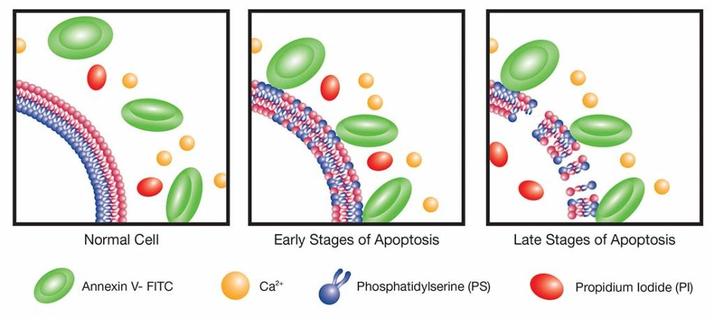 Apoptosis Annexin V Detection Diagram