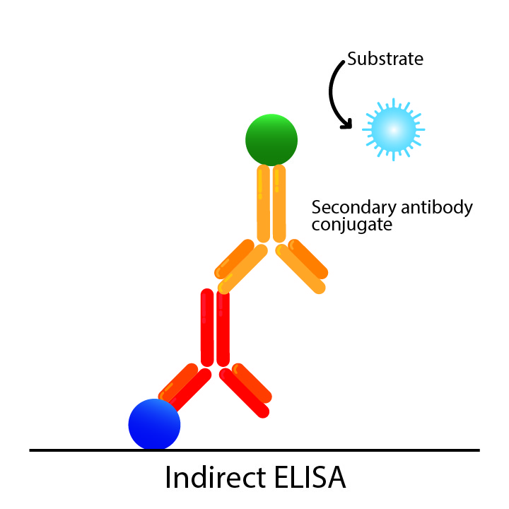 Indirect ELISA diagram