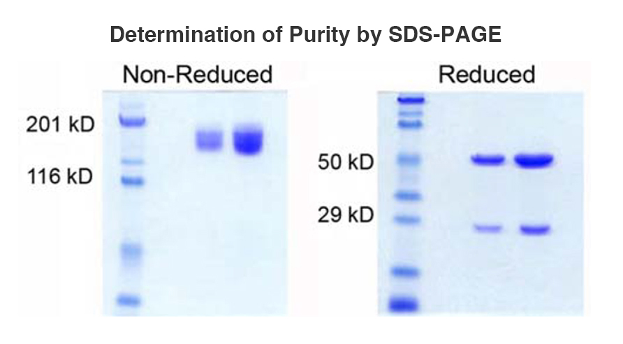 Determination of Purity SDS Page graph
