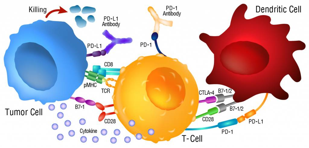 Checkpoint Blockade Tumor Cell, Dendritic Cell, T-Cell Diagram