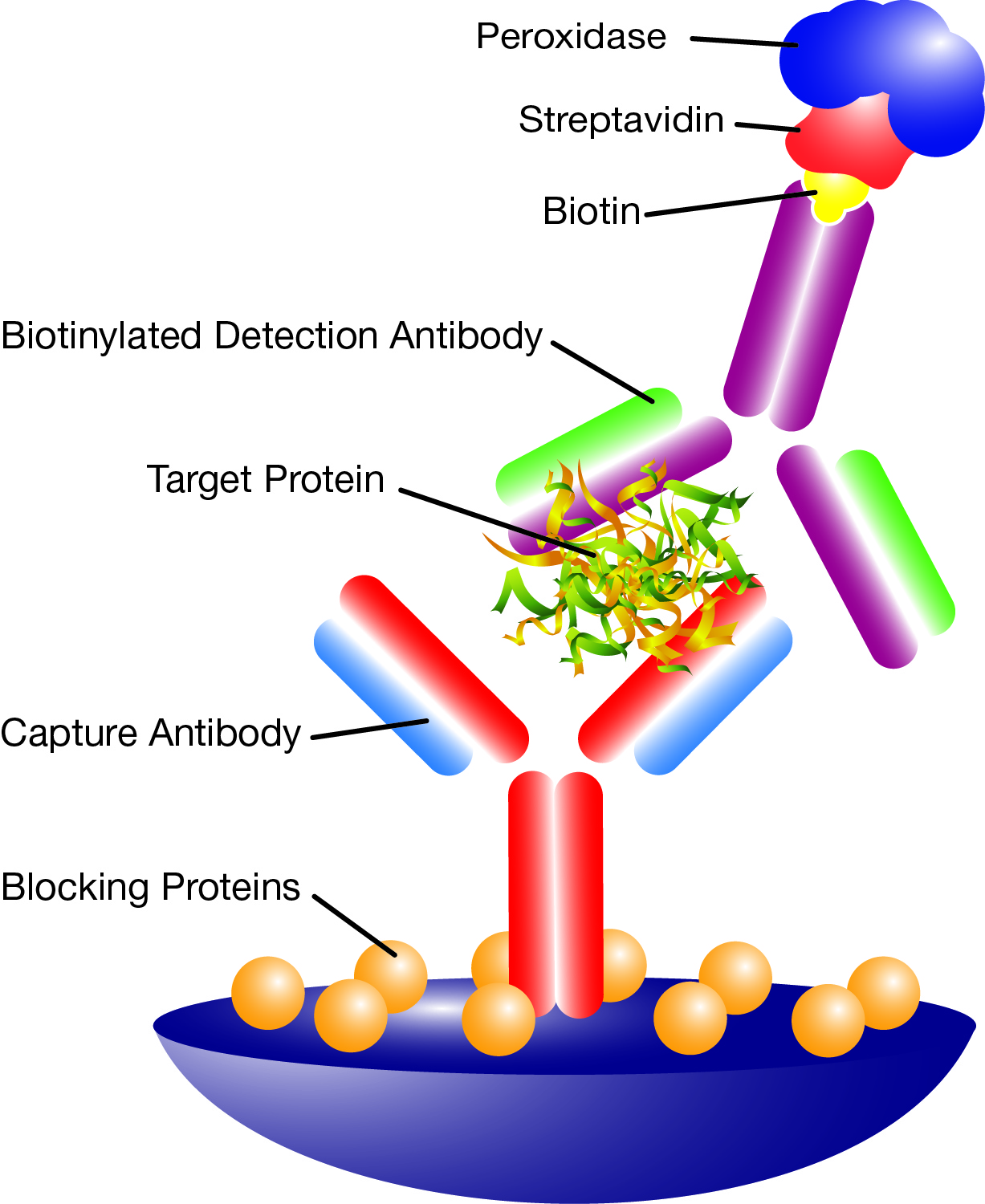 Principle structure of an immunoassay: Sandwich ELISA