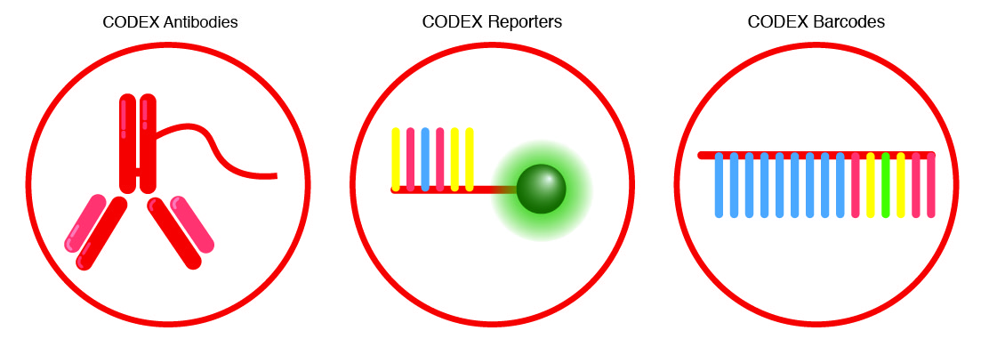 CODEX conjugated antibodies for building antibody panels