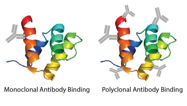 primary antibodies - monoclonal and polyclonal binding