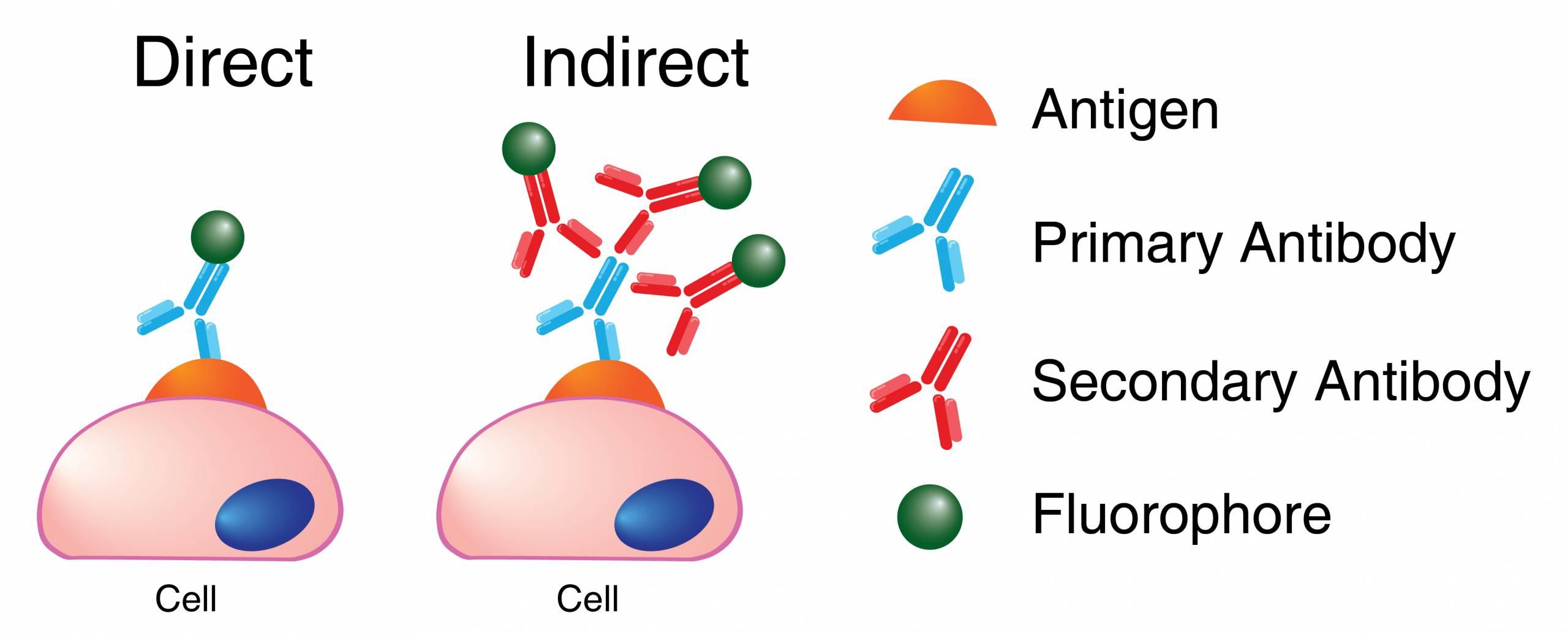 Secondary Antibody binding to primary antibody - direct vs. indirect method