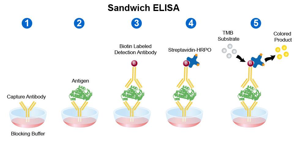 Sandwich Elisa protocol 5 step process