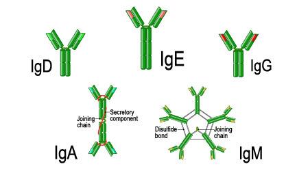 Immunoglobulin - IgG, IgE, IgM, IgD, IgA