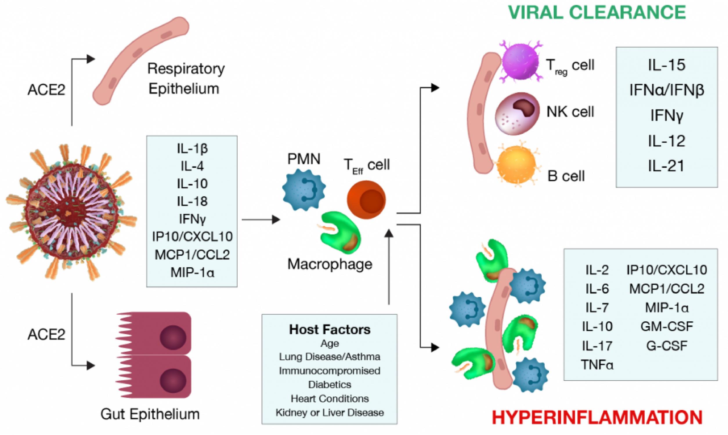 SARS-CoV-2 Cytokine Response
