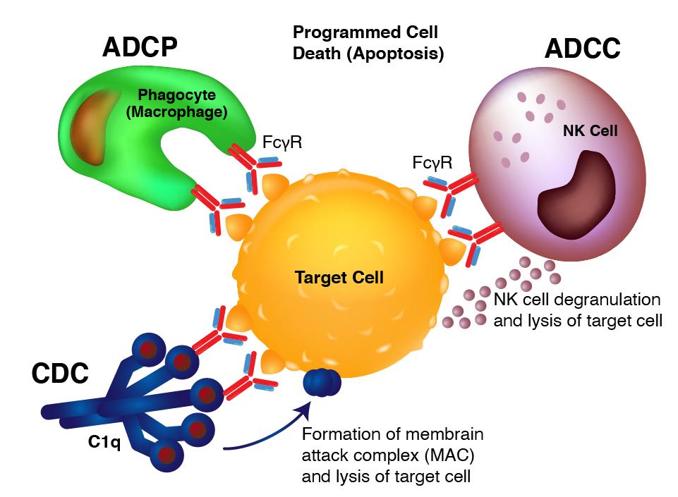 Biosimilar Recombinant Antibodies - ADCC, ADCP, CDC illustration