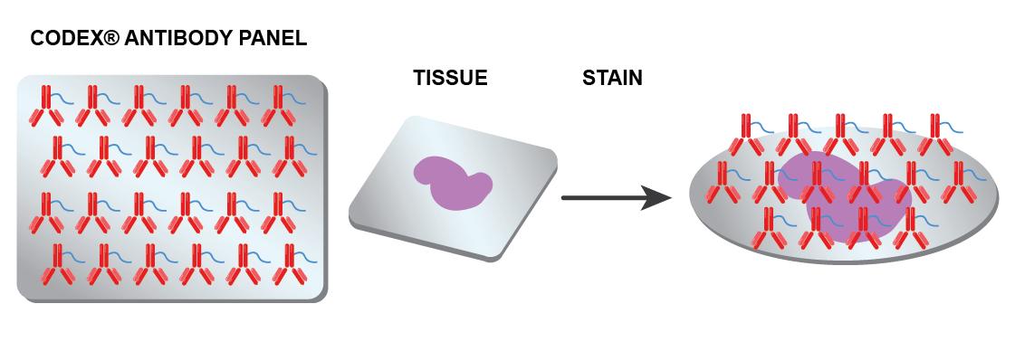 CODEX Technology - Tissue staining with antibody panel