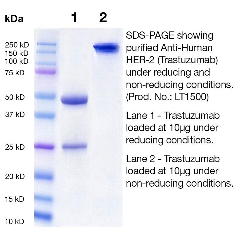 Trastuzumab SDS Gel